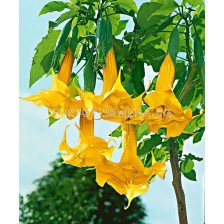 Бругманзия (Brugmansia Double Angel's) – жълта