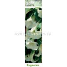 бругманзия Бяла (Ангелски тромпет)