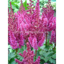 Астилбе - Astilbe Purple Rain - 1 бр