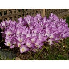 Колхикум /есенен минзухар / Colchicum Speciosum 1 бр