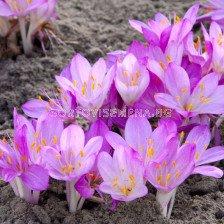 Колхикум /есенен минзухар / Colchicum The Purpureum1 бр