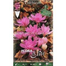 Колхикум Waterlily (Есенен минзухар) - 1 бр