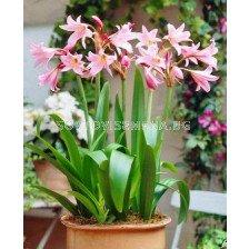 Кринум розов - Crinum powelii rosea 20/24