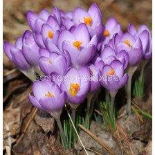 Минзухар tommasinianus Barr's Purple