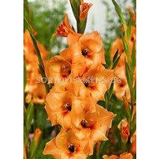 гладиол (Gladiolus) Esta Bonita