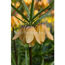 Фритилария /Fritillaria imperialis 'Vivaldi'/ 1 бр