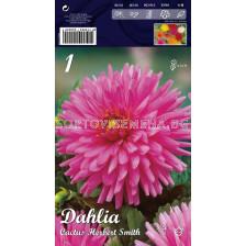 Далия (Dahlia) Cactus Herbert Smith