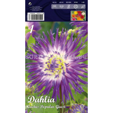 Далия (Dahlia) Cactus Popular Guest