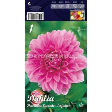 Далия (Dahlia) Decorative Lavender Perfection