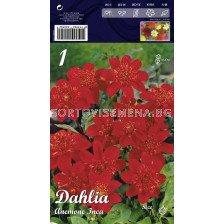 Далия (Dahlia) Anemone Inca (ниска)