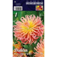 Далия Cactus Alfred grille - Dahlia Cactus Alfred grille