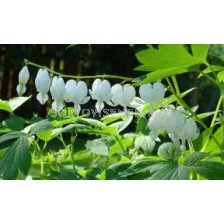 Дамско сърце бяло AURORA (Dicentra spectabilis alba)