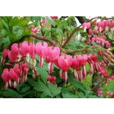 Дамско сърце розово (Dicentra spectabilis)