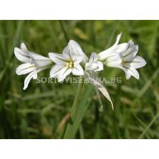 Декоративен Лук (Allium) Triquetrum