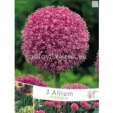 Декоративен лук (Allium Christophii) Gladiator