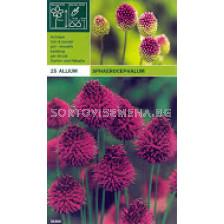 Декоративен лук (Allium Christophii) Sphaerocephalon