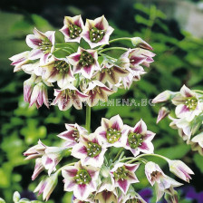 Декоративен лук Nectaroscordum siculum ssp. bulgaricum САМАРДАЛА