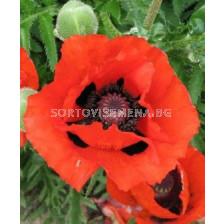 Декоративен мак червен - Decorative poppy red