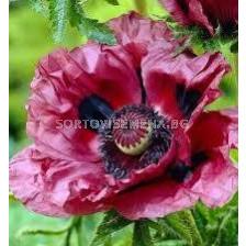Декоративен мак лилав - Decorative poppy purple
