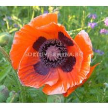 Декоративен мак оранжев - Decorative poppy orange