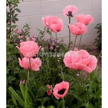 Декоративен мак розов
