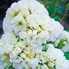 Флокс / Phlox Double White / 1бр