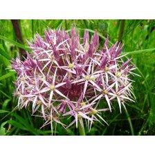 Декоративен лук (Allium Christophii) Ornithogalum Magnum