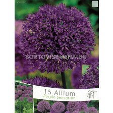 Декоративен лук (Allium) Purple Sensation