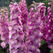 Делфиниум (Ралица) Розов - Delphinium Pink