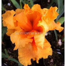 Ирис /iris germanica orange/ 1 бр