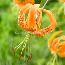 Лилиум  / Lilium species 'Henryii' / 1 бр