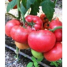 Сорт домат Pink ID (SV3026TG) F1. Аграра ООД. Сортови семена Дар.