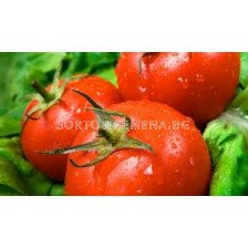 Сорт домати Велосити F1. Аграра ООД. Сортови семена Дар
