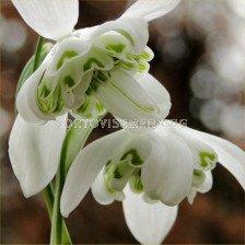 Кокиче /Galanthus nivalis 'Hippolyta''/ 1 бр