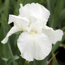 Ирис /iris germanica white/ 1 бр