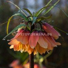 Фритилария / Fritillaria imperialis 'Early Dream' / 1 бр