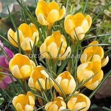 Едроцветен минзухар (Crocus) Golden Yellow