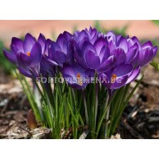 Едроцветен минзухар Flower Record - crocus Flower Record