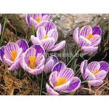 Едроцветен минзухар King of the Striped - Crocus King of the Striped