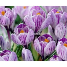 Едроцветен минзухар (Crocus) Pickwick