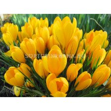 Едроцветен минзухар Yellow Giant - crocus Yellow Giant