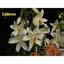 Лилиум  есенен / Colonna/ 1 оп ( 2 луковици )