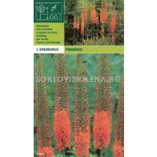 Еремурус оранжев (Eremurus pinokkio)