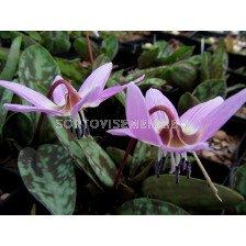 Еритрониум / Erythronium Purple King/ 1 бр