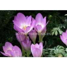 Есенен минзухар лилав (Colchicum Lilac wonder) - autumn crocus purple