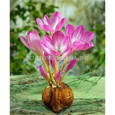 Есенен минзухар розов (Colchicum Giant) - Autumn crocus pink