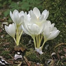 Есенен минзухар бял (Colchicum Album) - Autumn crocus white