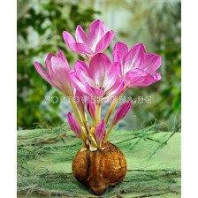 Есенен минзухар розов (Colchicum Giant)
