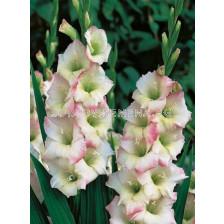 Гладиол (Gladiolus) Cream Perfection