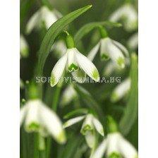 Кокиче /Galanthus nivalis 'Viridi-apice''/ 1 бр